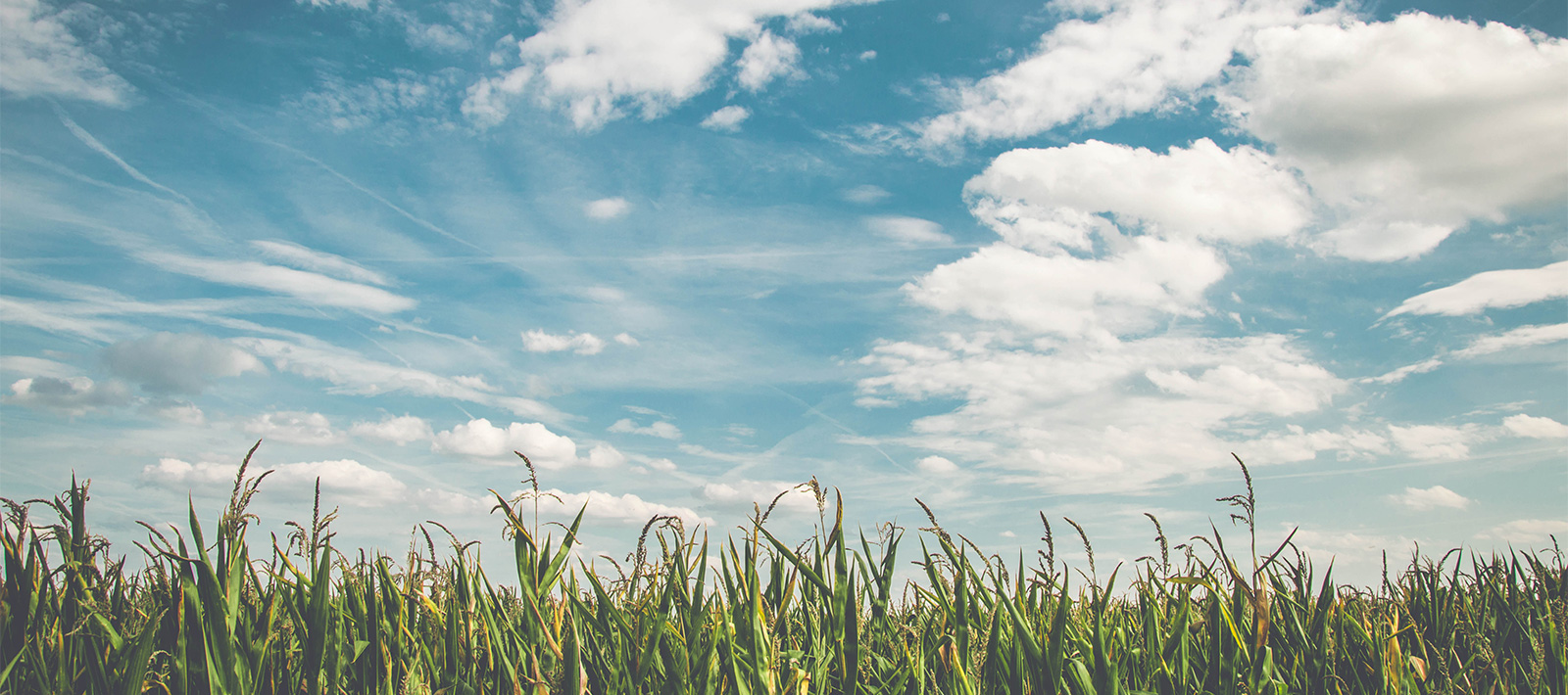 corn-field-top